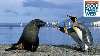 Gambar cover Documentario  Jacques Cousteau - Il volo dei pinguini - La grande avventura del mare