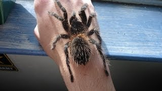 Top 10 Biggest Spiders in The World 2014