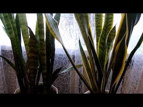 Выращивание и уход в домашних условиях за Сансевиерией (Щучий хвост ).