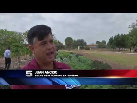 Texas A&M AgriLife Teaches Farmers to Protect Crop