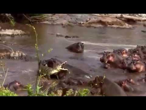 Стадо бегемотов против крокодила