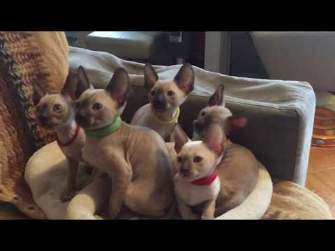 Cornish Rex kittens 7 weeks old