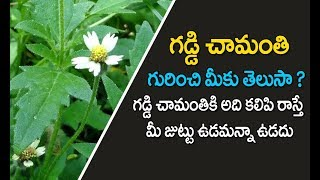 Gaddi chamanthi uses telugu | గడ్డి చామంతి | Tridax procumbens | Health tips in telugu | chamanthi