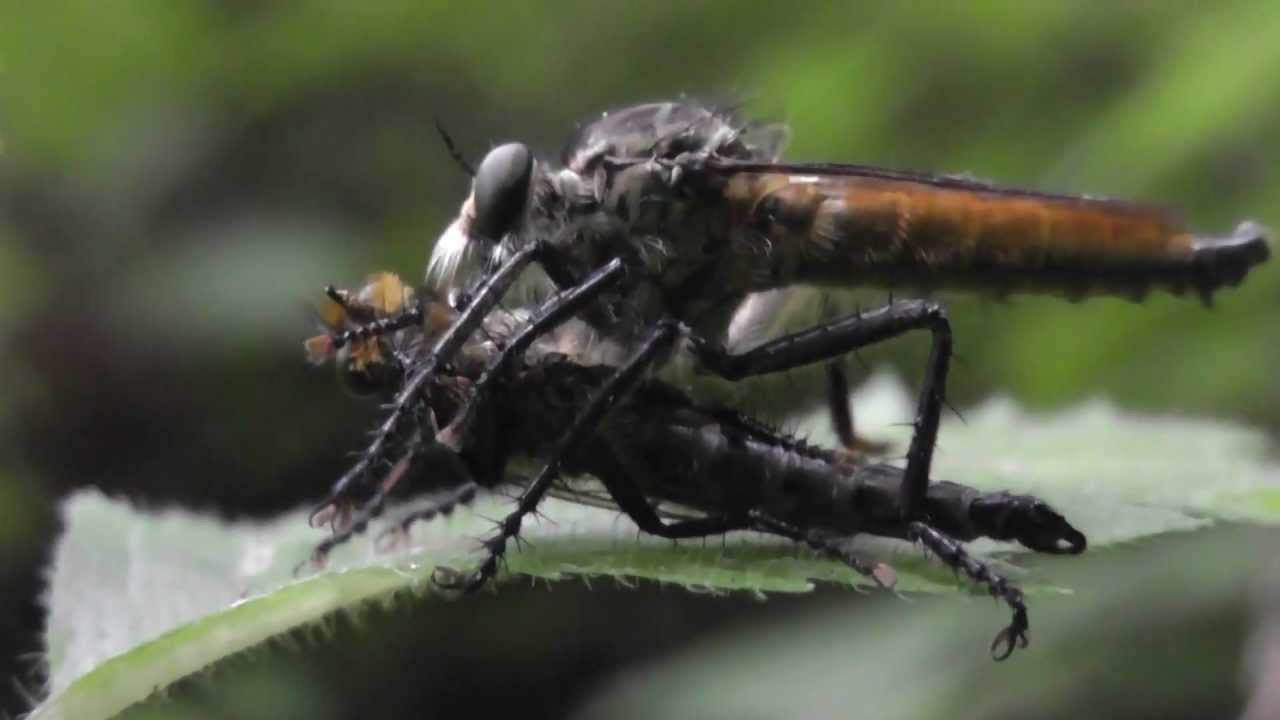 Robber fly eating a meal - softypapa