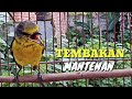 Suara Burung Mantenan Gacor Bagus Buat Masteran  Mp3 - Mp4 Download