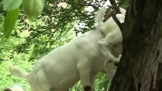 Burske koze pod Vršačkim bregom