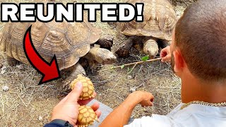 BABY TURTLES MEET THEIR PARENTS FOR THE 1ST TIME! *REUNITED*