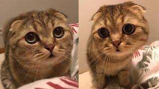 Scottish Fold Cat Breed # 4