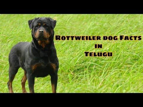Rottweiler dog Facts most popular and dangerous dog breed | Telugu | Taju logics