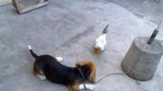 Polly VS Chicken Little
