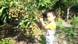 台灣很特殊的龍眼 -- 未滿三歲的小朋友-蔡翔昱可以摘到龍眼 thumbnail