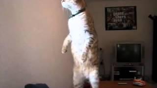 Упоротый кот стоит на задних лапах