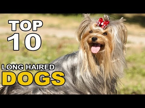 Top 10 Long Haired Dog Breeds