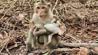 Very poor tiny baby monkey Carli, kidnapper abducts Carli baby, Candy monkey leaves baby alone
