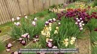 Ирисовый  сад, цветы почтой РФ(, 2016-05-10T20:08:46.000Z)