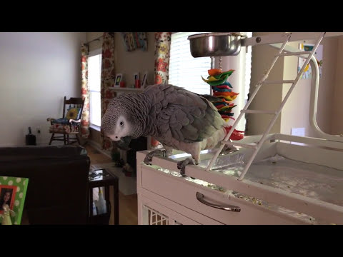 Birdy the African Grey Parrot dancing