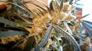 3 Super Lemon Haze Plants, HARVEST! 13weeks flower, Kiss from a Rose