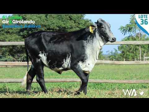 LOTE 36 - 6331 BD - 6º Leilão Gir & Girolando Genética Aditiva