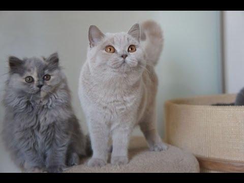 Tenerife Brytyjski Liliowy Piesek British Shorthair Cattery