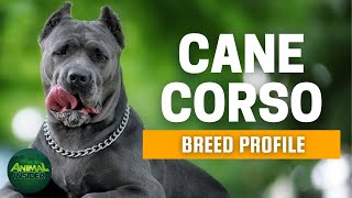 Cane Corso Dogs 101 | A Mighty Dog for Mighty Owners | Italian Mastiff