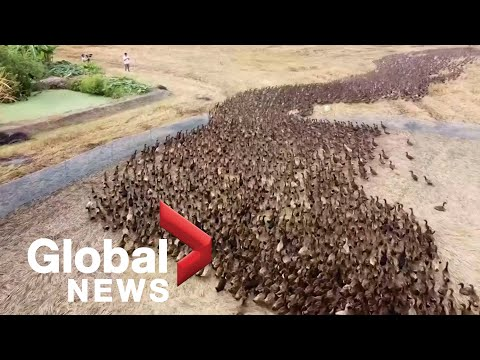 "Drone footage follows 10,000 ducks ""cleaning"" rice paddies in Thailand"