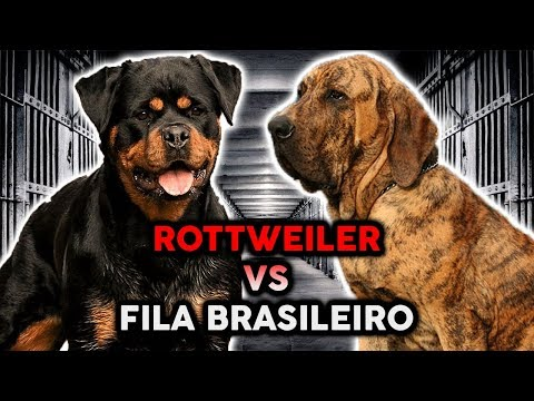 ROTTWEILER VS FILA BRASILEIRO! The Best Guard Dog Breed!