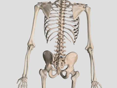 Joints Of The Body Anatomy And Kinesiology Youtube