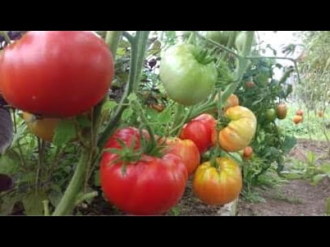Урожайные сорта томатов. Сбор семян на 2020год!