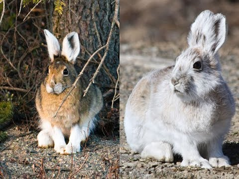 Top 5 Animals That Turn White in Winter