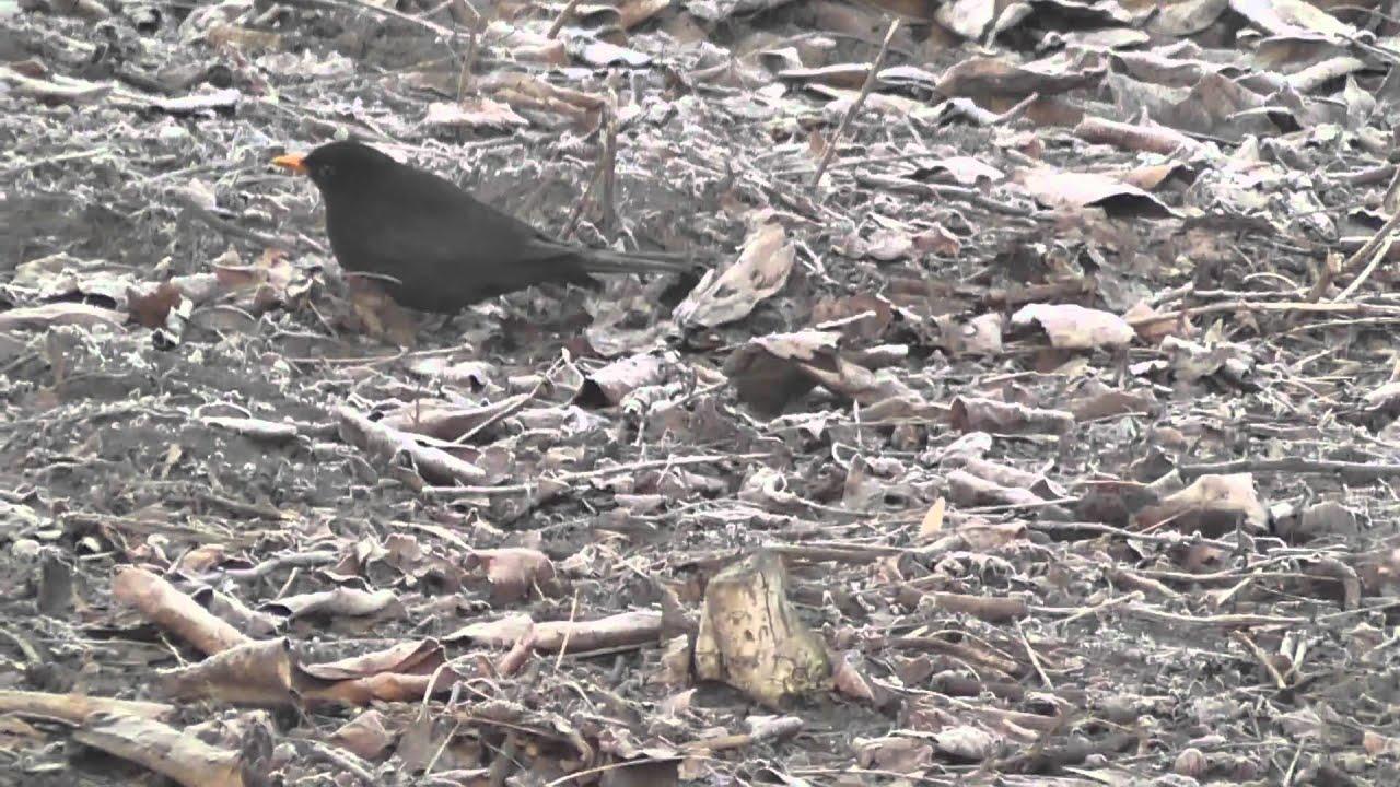 Duży uzależniony czarny kogut