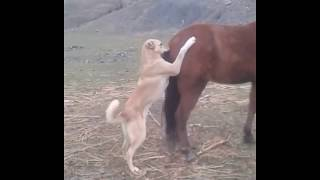 Dog try to horse sex fight on road oxr