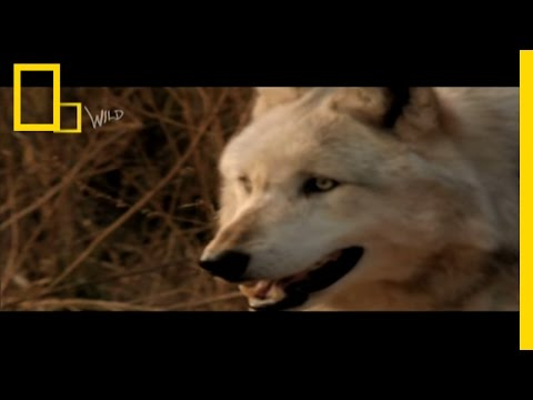 Wolf Bite! | Dangerous Encounters: Bite Force 2 | National Geographic