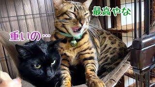 巨大豹柄猫が黒猫を座布団と勘違いしている様です…