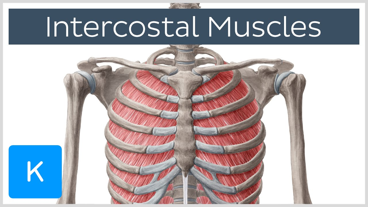 intercostal muscles - function, area & anatomy - human anatomy, Human body