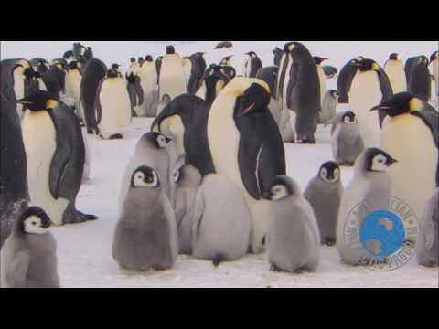 Emperor penguins near Australia's Mawson research station, Antarctica