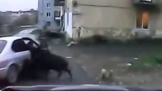 дикий кабан гуляет по городу!!!(, 2013-10-27T20:17:14.000Z)