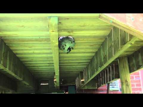 Wasp nest under my deck