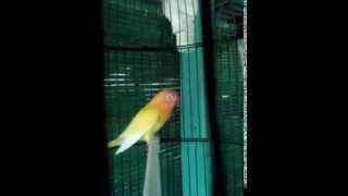 lovebird lutino baru belajar ngekek