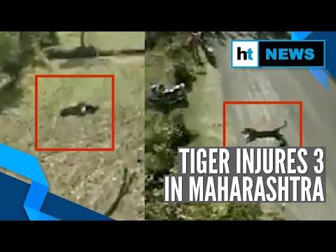Watch: Tiger attacks