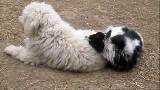 Goat Uses Guardian Dog as Pillow