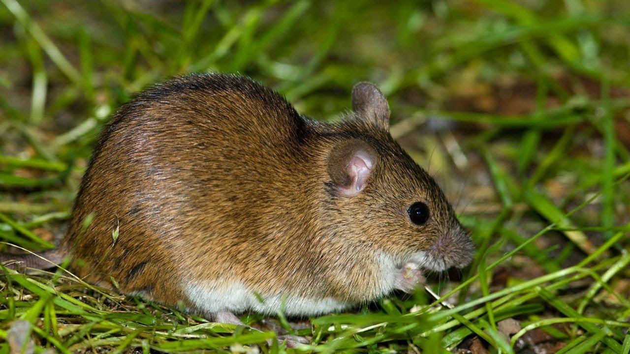 картинки мышки полевой что меня более