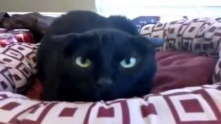 Смешные кошки Коллекция  2014г.