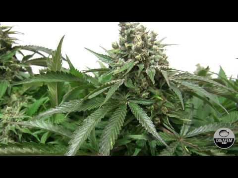 Moby dick feminized marijuana strain by Dinafem Seeds