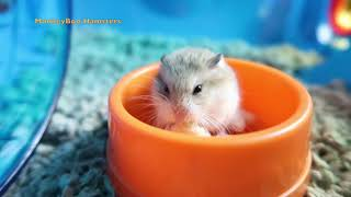 Introducing Turbo The Dwarf Hamster! (MONKEYBOO'S HAMSTERS)