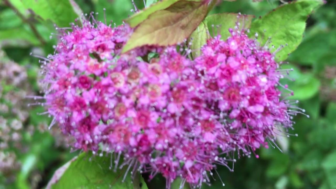 Pink Spiraea Japonica Japanese Spiraea Flowers In Garden Spiraea