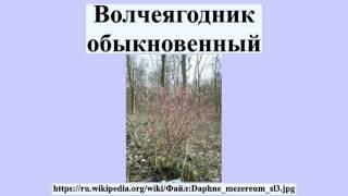 видео Волчеягодник
