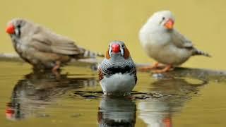 تحفيز طيور الزبرا  %100