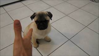 Pug puppy plays dead