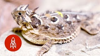 Don't Mess with the Texas Horned Lizard
