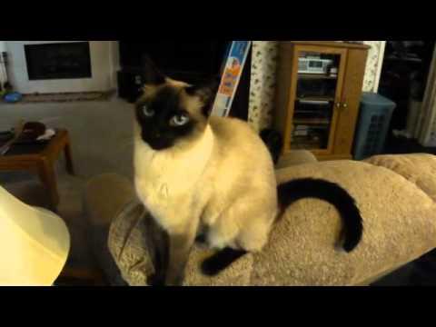 Talking Siamese Cat
